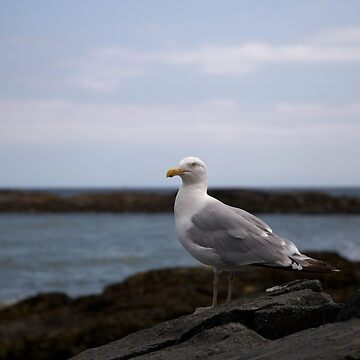 Seagull by the sea by franceslewis