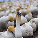 Gannet and colony by tarnyacox