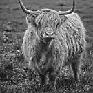 Cow2 B&W by Paul Campbell  Photography