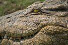 Nile Crocodile by Neville Jones
