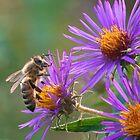 Honigbiene auf Aster von David Lamb