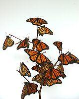 Full Monarch Butterfly Tree by Molly  Kinsey