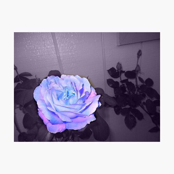 pretty rose, purple wall 11/10/18 Photographic Print