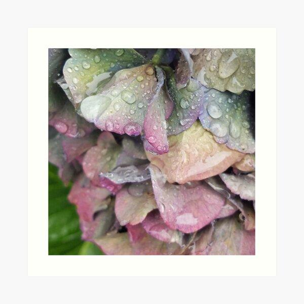 Rainbow Hydrangea Art Print