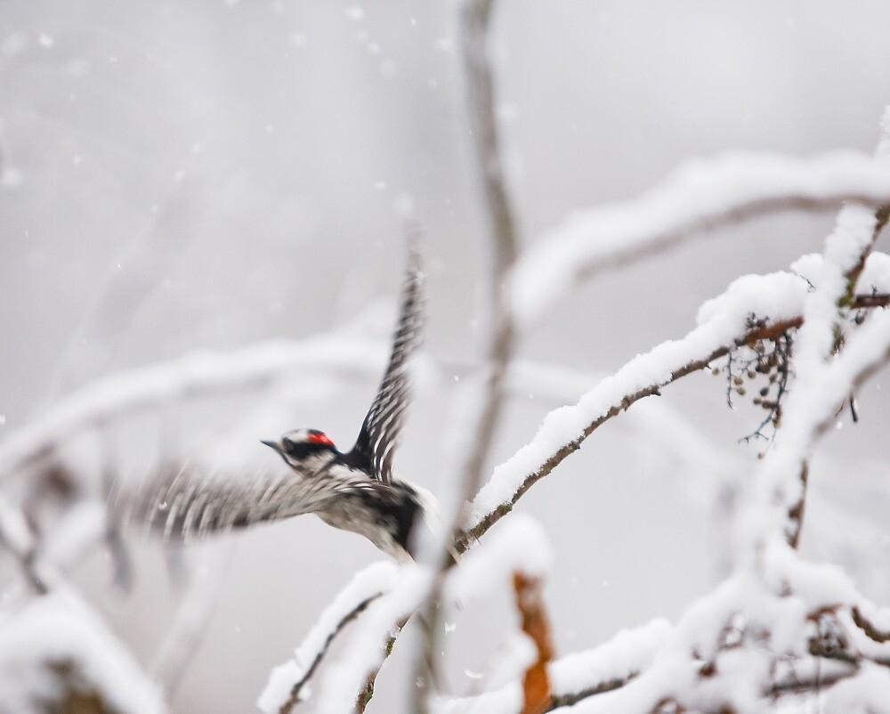 Hairy Woodpecker, Shenandoah River, North Fork by Steven David Johnson