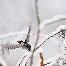 Hairy Woodpecker, Shenandoah River, North Fork by Steven David Johnson