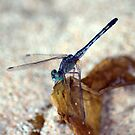 blue dragonfly 2 by michelle meenawong