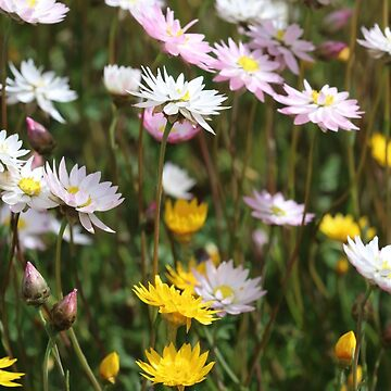 Pretty Daisies by kalaryder