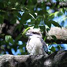 Kookaburra - Australian Icon by blindskunk