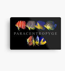 Paracentropyge Metallbild