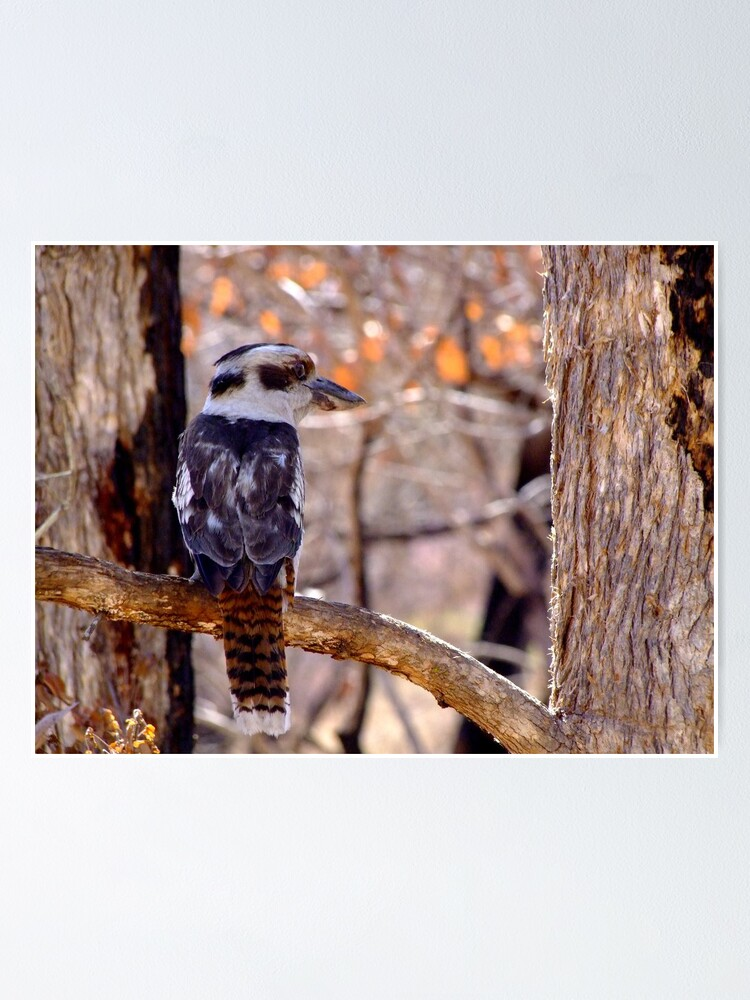 Alternate view of Kookaburra Dawn Poster