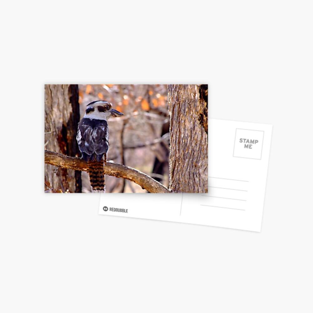 Kookaburra Dawn Postcard