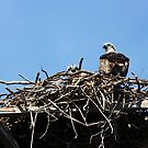 Osprey Chick with Mum by byronbackyard