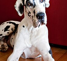 Keisha the Great Dane by Charlotte Reeves