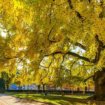 Huge ginkgo tree known as Goethe tree with yellow leaves by sorokopud