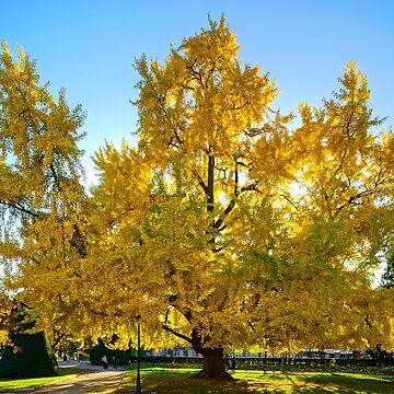 Huge ginkgo tree known as Goethe tree with yellow leaves by sorokopud