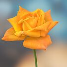 yellow rose in the garden by spetenfia