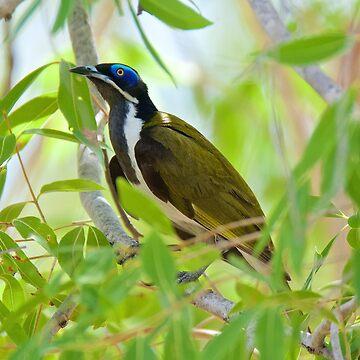 NT ~ HONEYEATER ~ Blue-faced Honeyeater by David Irwin by tasmanianartist