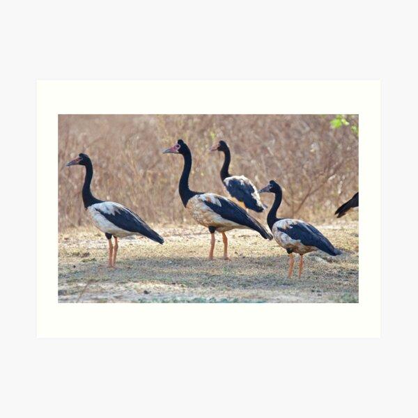 NT ~ WATERFOWL ~ Magpie Goose by David Irwin ~ WO Art Print