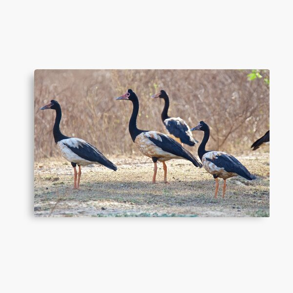 NT ~ WATERFOWL ~ Magpie Goose S2R4FW9H by David Irwin ~ WO Canvas Print