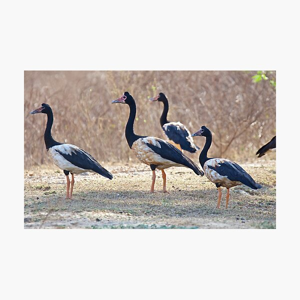 NT ~ WATERFOWL ~ Magpie Goose by David Irwin ~ WO Photographic Print