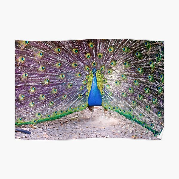 NT ~ EXOTIC ~ Blue Peacock by David Irwin Poster