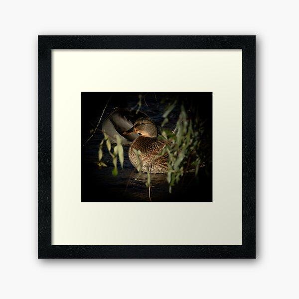 Female Mallard In The Spotlight Framed Art Print