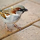 A Sparrow by gillyisme53
