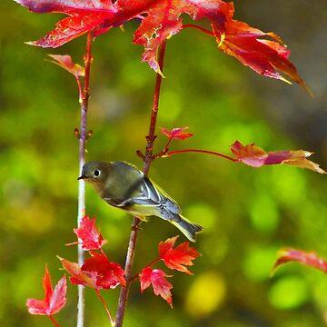 Blue-Headed Vireo In Autumn Blaze Maple Tree by DianaG