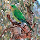 Superb Parrot Male Immature by Phillip Weyers