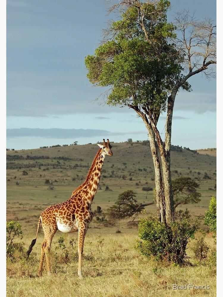 Giraffe - Masai Mara by bfra