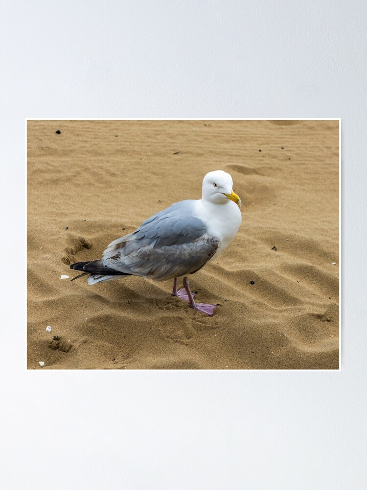 Alternate view of Seagull on a sandy beach Poster
