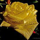 Rose by MarekM