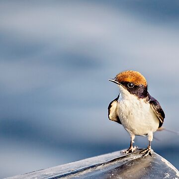 Where Did That Bug Go? Wire-Tailed Swallow by KayBrewer