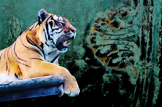 Tiger against blue copper by chihuahuashower