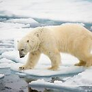 A Polar Bear (Ursus maritimus) hunting seals on rotten sea ice  by PhotoStock-Isra