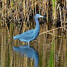 Little Blue Heron at HBSP by TJ Baccari Photography