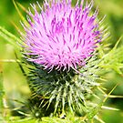 Thistle by LADeville