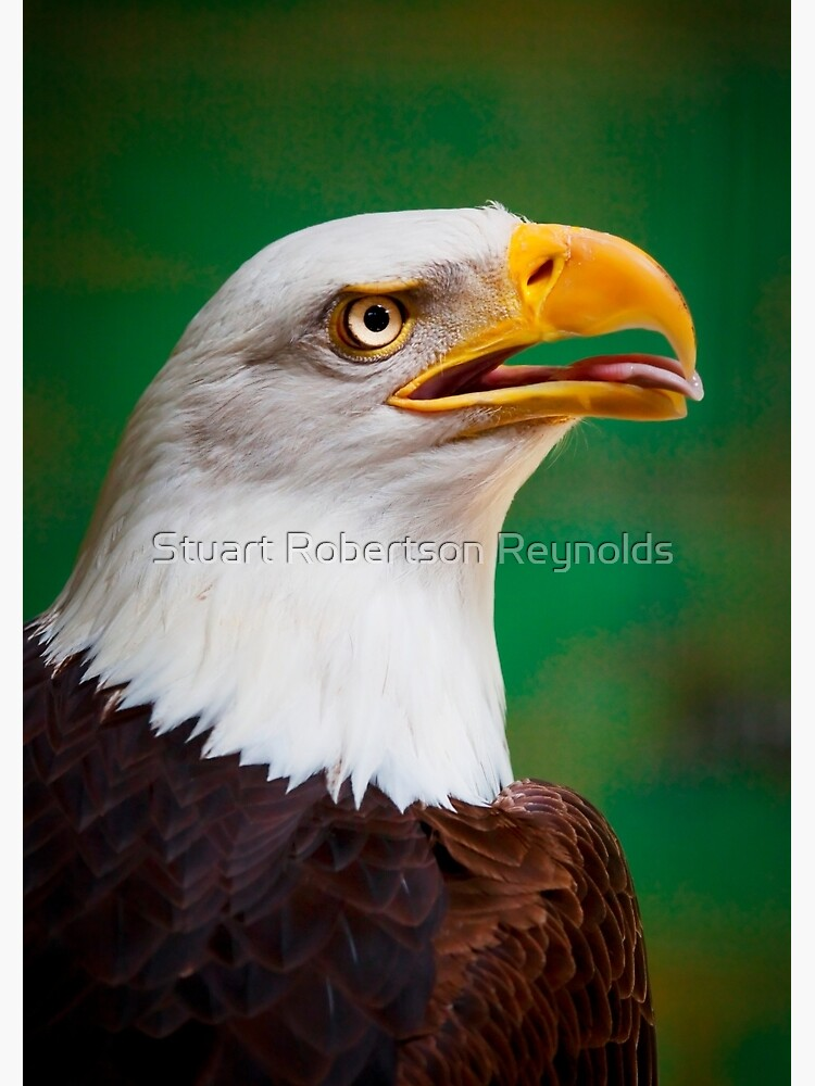 Bald Eagle by Sparky2000