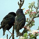 Mr & Mrs Starling in the flowering Apple Tree........!! by Roy  Massicks