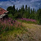 Fireweed @ Silver City by Yukondick