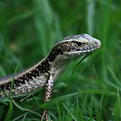 Skink by reflector