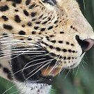 Amur Leopard - in profile  by Martina Nicolls
