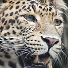 The face of the Amur Leopard by Martina Nicolls