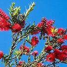 Callistemon for Christmas  by jayview