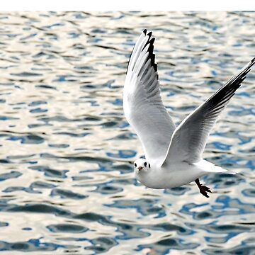 The Ring Billed Gull by Retiree