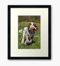 Brown Roan Italian Spinone Puppy Dog In Action Framed Print