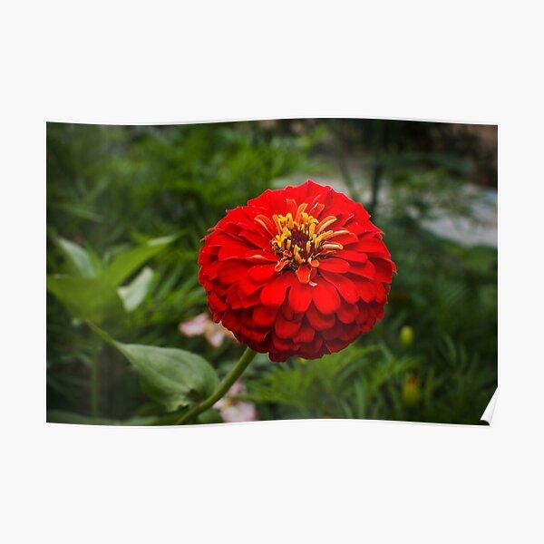 Zinnia flower Poster