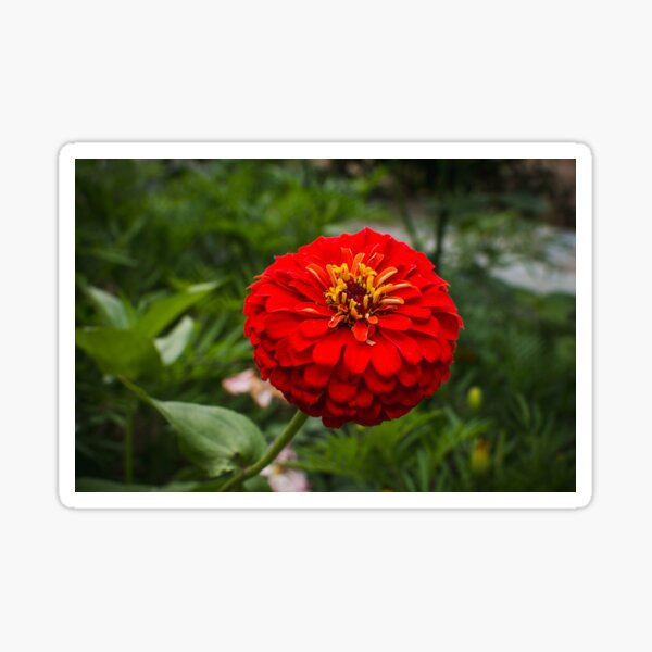 Zinnia flower Sticker