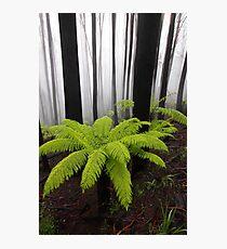 Fog,n Fern. Dicksonia Antarctica. Photographic Print